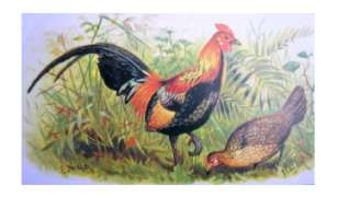 Asian Red Junglefowl